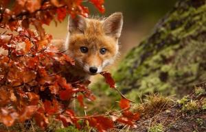 fall_fox